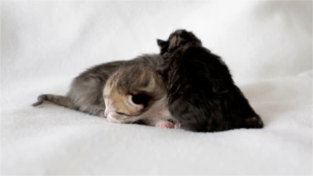 Three funny blind newborn kittens are lying on the white plaid. video