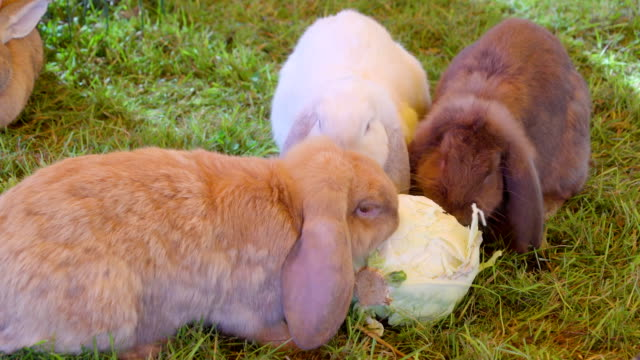 Three furry rabbits eating the raw cabbage Three furry rabbits eating the raw cabbage on the floor the white brown and black rabbits eating together coonhound stock videos & royalty-free footage