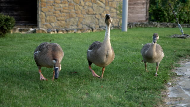 Three geese in rural place is ready to attack video
