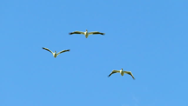 Three Graceful White Pelicans Flying Together in Slow Motion Three Graceful White Pelicans Flying Together in Slow Motion. pelican stock videos & royalty-free footage