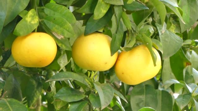 Three grapefruits on the tree