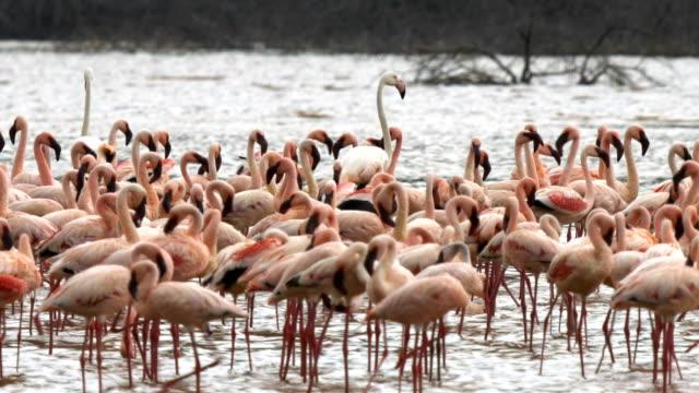 ケニアの小フラミンゴの群れの中の 3 つの大きいフラミンゴ - 野生動物旅行点の映像素材/bロール
