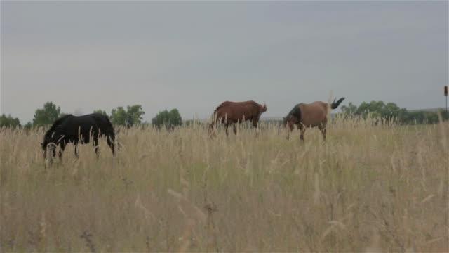 three horses graze on autumn field - stallone video stock e b–roll