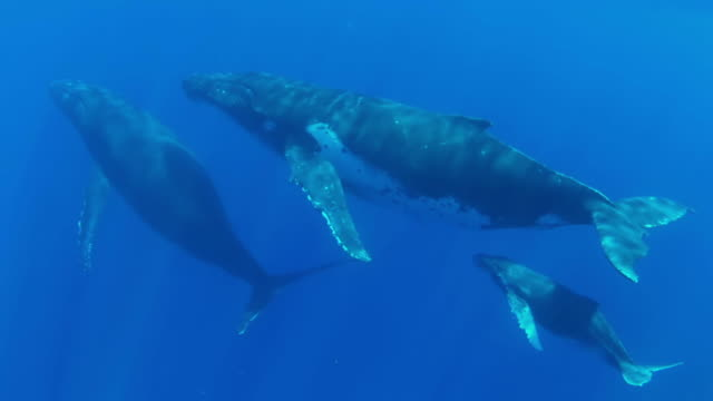 Three Humpback Whale swimming  towards  the surface