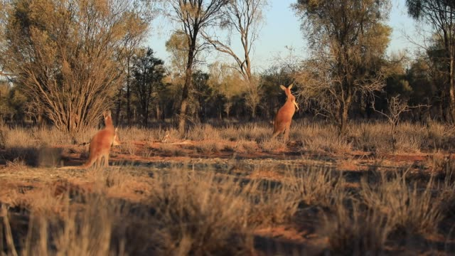 Three kangaroos Australia Three red kangaroos standing and eating outdoors in the wilderness. Outback of Central Australia. Australian Marsupial, Macropus rufus, Northern Territory, Red Centre. Desert landscape at sunset light kangaroo stock videos & royalty-free footage