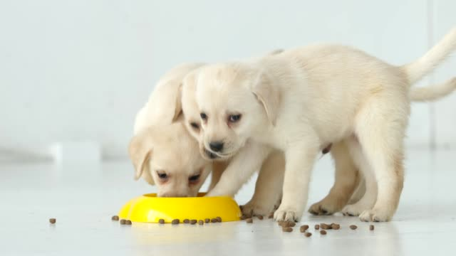three labrador puppy eat a dry food in a yellow bowl on a floor - три животных стоковые видео и кадры b-roll