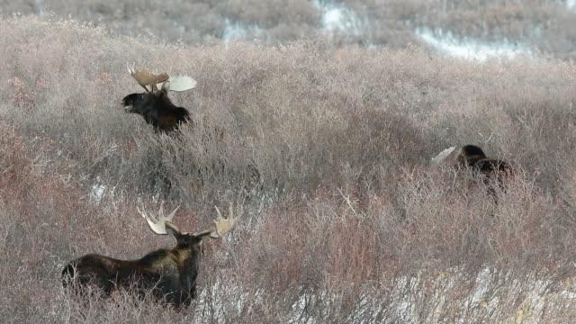 drei große bull elch essen in einem verschneiten feld - elch stock-videos und b-roll-filmmaterial