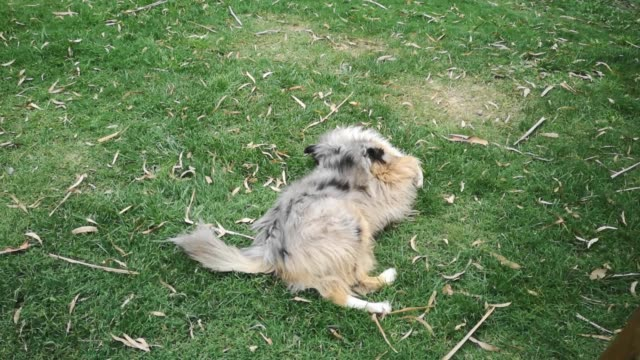 Three legs Rough Collie dog rolling and romping in the grass