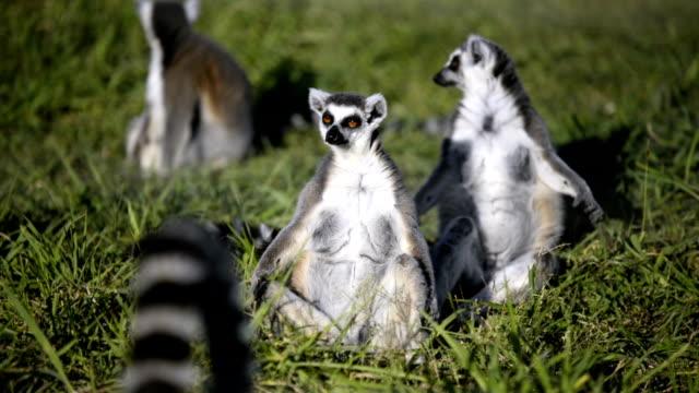tre lemurer sitter på ängen. - lemur bildbanksvideor och videomaterial från bakom kulisserna
