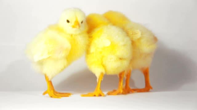 Three little chicken video