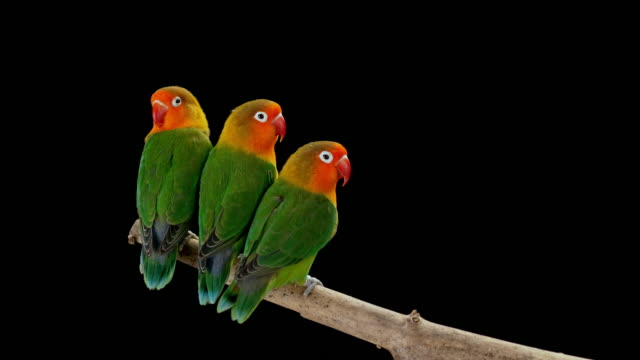 Three lovebirds sitting on a branch very close to each other