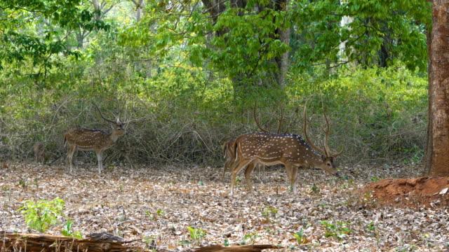 three male deer in a forest - poroże filmów i materiałów b-roll