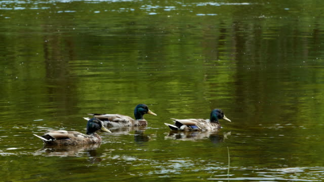 three male ducks swimming in water - пруд стоковые видео и кадры b-roll