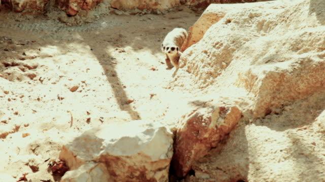 Three Meerkats in sandy rocks video