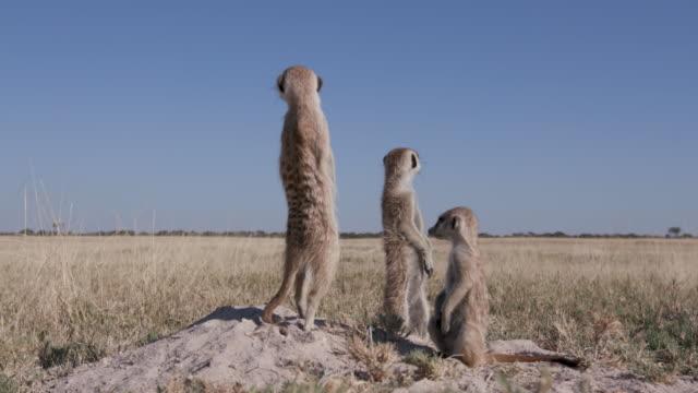 Three meerkats standing up on sentry duty video