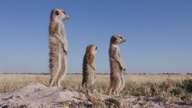 Three meerkats standing up on sentry duty,looking into the distance video