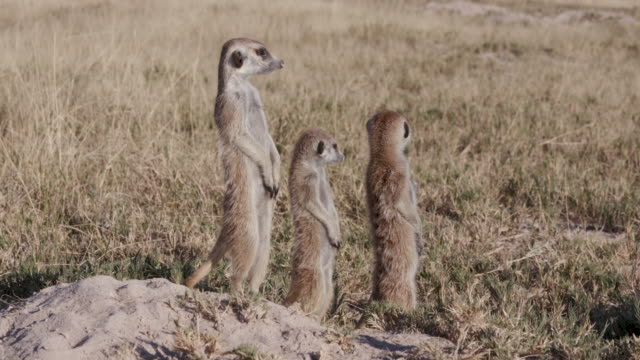 Three meerkats sunning themselves on the edge of their burrow video
