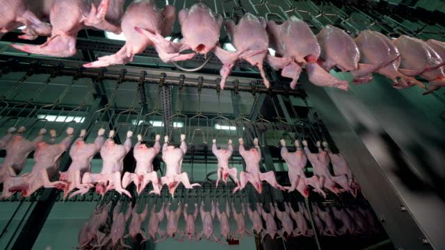 vídeos de stock, filmes e b-roll de três linhas de fábrica em movimento com galinhas sem cabeça. - ave doméstica