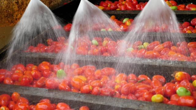 Three nozzles sprinkle water to clean tomatoes on a processing plant in summer
