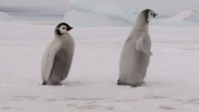 three penguin chicks video