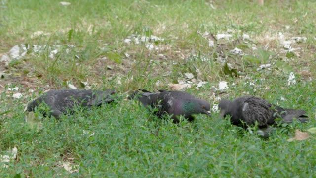 three pigeons eat green lush grass. - ornitologia video stock e b–roll