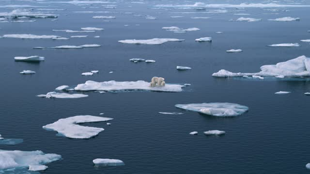 Three polar bears walking on the Arctic sea ice, glacier melting