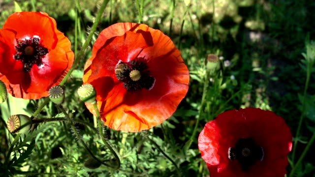 Three red poppies, flying bees video