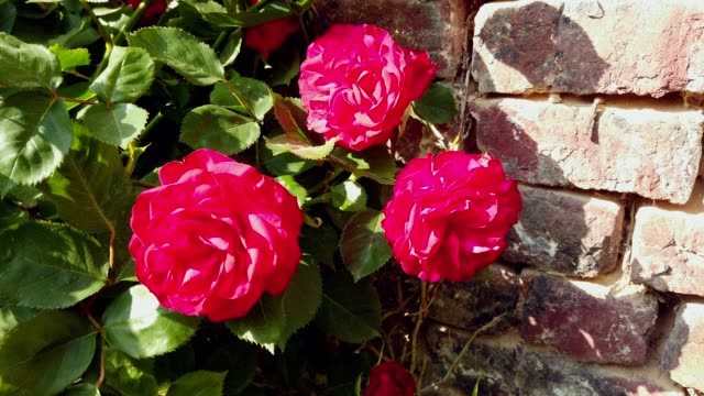 Three red roses against brick wall