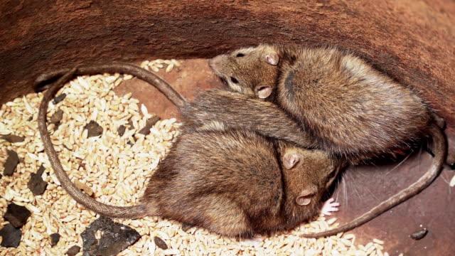 Three sick rats caught in trap close up