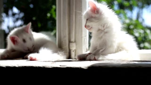 vídeos y material grabado en eventos de stock de tres pequeños blanco gatitos lavados - vibrisas