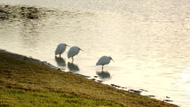 three snowy egrets feeding at the edge of a pond - stan naturalny filmów i materiałów b-roll