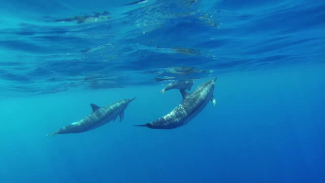 Three Swimming Dolphins in Hawaii Underwater Shoot Three Swimming Dolphins in Hawaii, Underwater Shoot dolphin stock videos & royalty-free footage