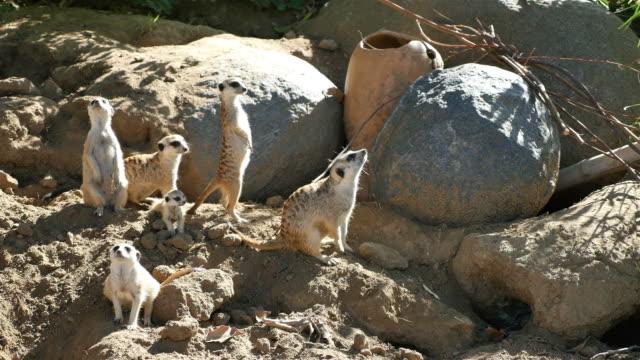 Three videos of meerkat family in 4K video