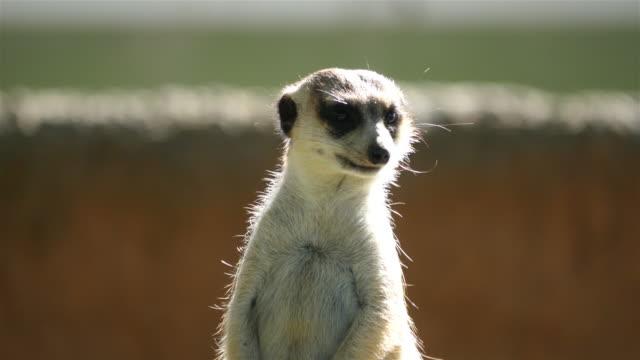 Three videos of meerkat in 4K video