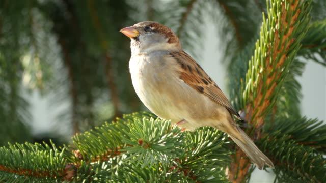 Three videos of sparrow in 4K video