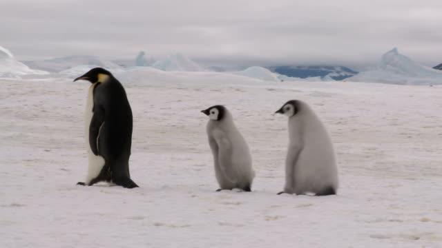 Three walking penguins rl pan video