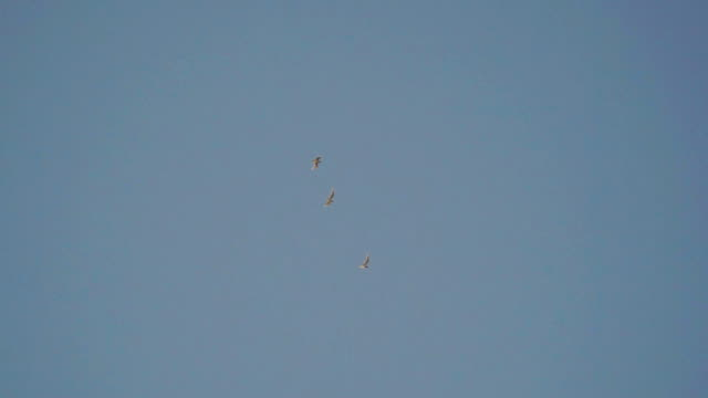 Three white birds fly in the evening in sky video