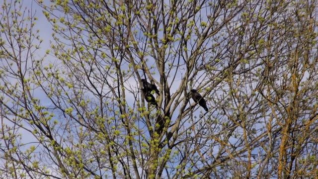 Three young common ravens in the tree in the forest clearing Three young black common ravens in the tree in spring on sunny day in countryside landing touching down stock videos & royalty-free footage