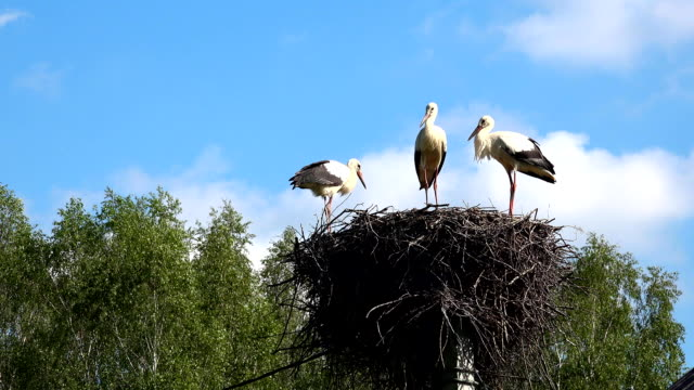 Three young storks in the nest. White stork Ciconia ciconia video