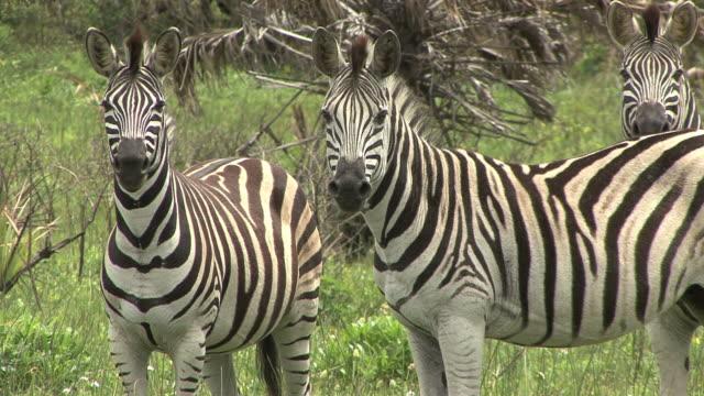Three Zebra video