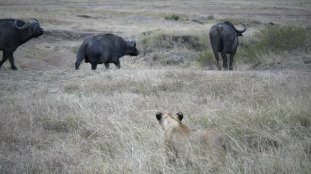 threee african buffalo watch a lion stalking them at masai mara in kenya