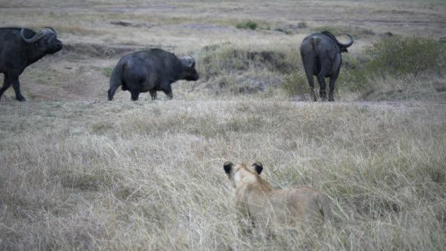 threee african buffalo watch a lion stalking them at masai mara in kenya - cacciare video stock e b–roll