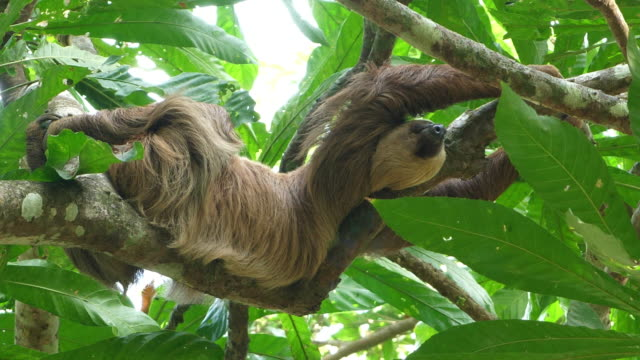 Three-toed sloth climbing up a tree in the rainforest