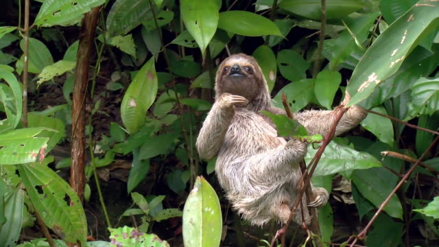 Three-toed sloth climbing up the branches of a tree