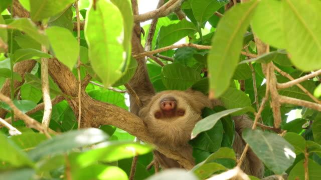 熱帯雨林の枝に眠る3本のつま先のナマケモノ - 怠惰点の映像素材/bロール