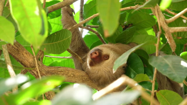 Three-toed sloth sleeping on a branch in the rainforest
