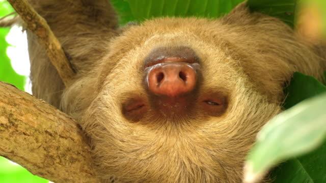 vídeos de stock e filmes b-roll de three-toed sloth sleeping on a branch in the rainforest - lento