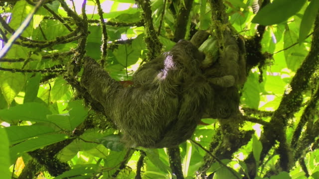 Three-toed sloths eating cocoa on a branch