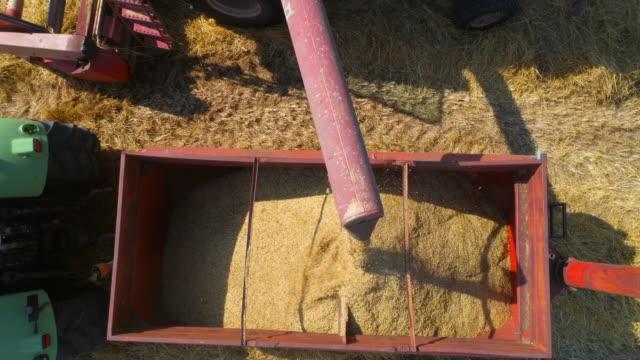 dreschmaschine landwirtschaft in goldene weizenfeld. dreschmaschine entladen mais in lagerung traktor arbeiten in italien - roggen stock-videos und b-roll-filmmaterial