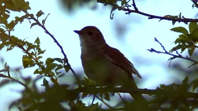 Thrush Nightingale video